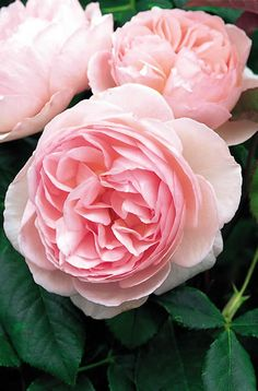 David Austin's Heritage Rose is a beautiful clear pink with a lovely soft fragrance. This rose blooms over and over again and is basically thornless.