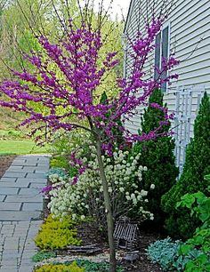 Redbud_shrubs to plant around the redbud_Why don't I already have a redbud tree? : (