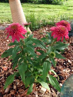Coneflower Pom Pom. Attracts butterflies and bees.