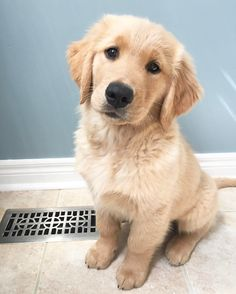 Golden Retriever Puppies Golden retriever puppy - Tap the pin for the most adorable pawtastic fur baby apparel! You'll love the dog clothes and cat clothes! Cute Dogs And Puppies, I Love Dogs, Pet Dogs, Dog Cat, Pets, Doggies, Silly Dogs, Chihuahua Dogs, Baby Dogs
