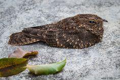 Bacurau-da-telha (Hydropsalis longirostris)