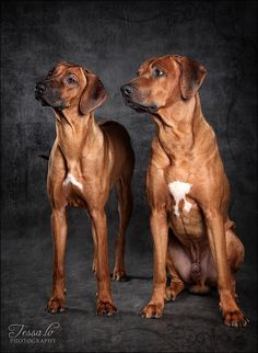 This looks like our Roux. Beautiful Dogs, Animals Beautiful, Cute Animals, Boxer Mix Puppies, Cute Puppies, Big Dogs, Large Dogs, Rhodesian Ridgeback Puppies, Lion Dog