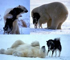 Near Hudson Lake in Manitoba, German wildlife photographer Norbert Rosing spotted a polar bear coming near his sled dogs.  He took pictures of what he thought would be the end of his dogs. But amazingly, the bear came back every night for a week to play with the dogs.
