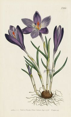 Crocus Vernus. Large Purple Spring Crocus from Curtis flower prints, daylily, blue iris, spring crocus, passion flower, violet, garland flower
