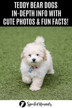 Learn all about adorable Teddy Bear dogs with in-depth info and fun facts. See cute photos of breeds from puppies to full grown. Find out what is a Teddy Bear Dog and breed names. Teddy Bear Poodle, Teddy Bear Puppies, Cute Puppies, Cute Dogs, Teddy Bears, Bear Dog Breed, Dog Breed Info, Dog Breeds, Silly Dogs