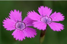 We just love the pink Vecht carnation! It only grows along the Overijssel Vecht and nowhere else in the Netherlands.
