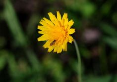 Kansas Wildflowers and Grasses - Potato dandelion | again, don't have it here but seen it back home
