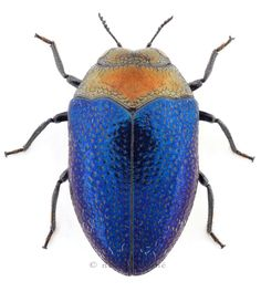 Orange and blue bug. Makes me think of the Oilers. Don't you dare give me flack about that lol!