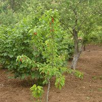 If you have a fruit tree that bears tasty fruit and you would like to have another, consider growing a second fruit tree from a cutting of the original. Fruit trees propagate through seed and branch cuttings. While propagation from seed depends on the viability and germination of the seed in soil, propagation by branch depends on the ability of a...