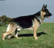 The German Shepherd Dog Dog Breed: Among the most intelligent of breeds, the German Shepherd Dog is so intent on his mission whatever that may be and he is virtually . German Shepherd Dogs, German Shepherds, Animals And Pets, Cute Animals, Dog Breed Info, Farm Dogs, Schaefer, Livestock, Mans Best Friend