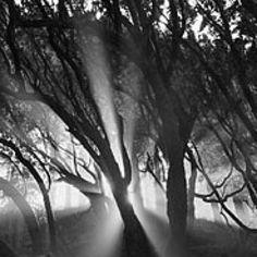 Trees, mist, sunlight - Ansel Adams