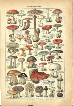 Kicking off National Mushroom month with a typology of French mushrooms.  Vintage botanical illustration.