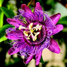 Garden Tip: Passionflowers are fast growers and will need support, such as trellis to climb on. Because they grow so fast, don't fertilize them much. In fact, too much plant food can encourage lots of leafy growth and few blooms.
