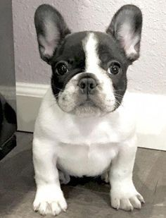 Everything About The Frenchie Pup Adorable french bulldog photos for PR With Perkes Puppy Obedience Training, Basic Dog Training, Training Dogs, Cute French Bulldog, French Bulldog Puppies, French Bulldogs, Cute Puppies, Dogs And Puppies, Bulldog Breeds