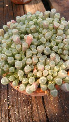 Fenestraria aurantiaca 'Baby Toes' succulent