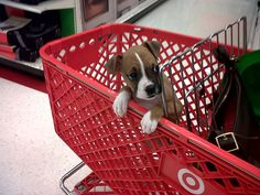 Riley in a shopping cart!  Baby Boxer puppy!