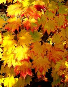 Acer japonicum 'O taki' (leaves look similar to the Full Moon Maple)