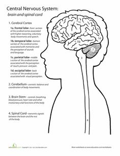 Worksheets The Nervous System Worksheet neurons coloring pages and on pinterest worksheets inside out anatomy central nervous system