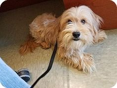 Vancouver, BC - Terrier (Unknown Type, Small) Mix. Meet Puffy, a dog for adoption. http://www.adoptapet.com/pet/18495562-vancouver-british-columbia-terrier-unknown-type-small-mix