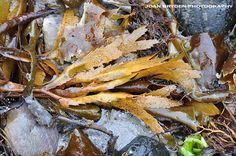 Toothed wrack seaweed