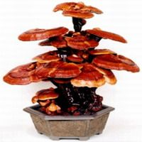 I drink coffee with Ganoderma in it---->    Collectively, the Ganoderma species are being investigated for a variety of potential therapeutic benefits:[15][16][17][18]    anticancer effects  immunoregulatory effects  antioxidant activities  liver-protecting effects  hypoglycemic effects  antibacterial effects  antiviral effects  antifungal effects  reducing blood cholesterol