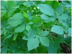 8 Best jamaican medicinal herbs images in 2017 | Natural home