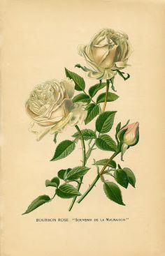 Vintage Printable White Roses Botanical | The Graphics Fairy
