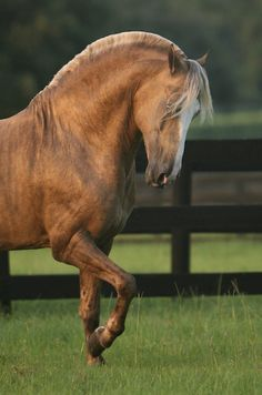 Could be a stallion Quarter/or Welsh or draft with shaved fetlocks. Palomino, Beautiful Horse Pictures, Beautiful Horses, Animals Beautiful, Zebras, All About Horses, Majestic Horse, All The Pretty Horses, Friesian