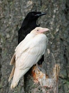 albino crow or raven - Bing Images The Crow, Crow Or Raven, White Raven, White Wolf, Black White, Beautiful Birds, Animals Beautiful, Gouts Et Couleurs, Animals And Pets