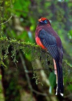 The Ward's trogon (Harpactes wardi) is a bird in the Trogonidae family. It lives in the northeastern parts of the Indian subcontinent stretching eastwards to Southeast Asia. Photo: Lee Hunter