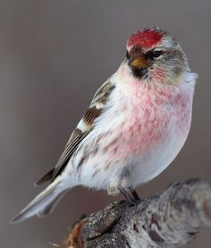 Hoary Redpoll by prairiedog (in and out), via Flickr. Beautiful bird.
