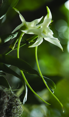 I love... the endangered Darwin's orchid (Angraecum sesquipedale), native only to Madagascar, with fewer than 25 plants left in the wild.