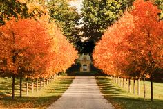 Driveway in Autumn- same trees i have!