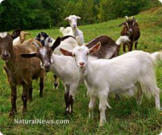 Top five reasons to use goat's milk soap. Try our Vanilla Honey Oatmeal and Vanilla Latte soaps - both with goats milk. purenaturalhandmade.com