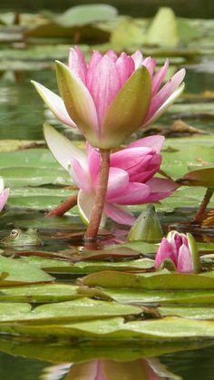 http://www.pinterest.com/irinascutebox/lets-share-flowers/ lilies, flowers, bolt, petals, water