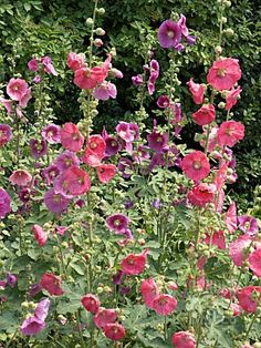 Hollyhocks…so beautiful for the back of the garden!