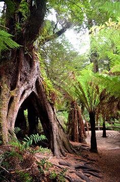 Maits Rest Rainforest Walk, Cape Otway, Australia — by MariJo South Australia, Western Australia, Melbourne Victoria, Landscapes, Around The Worlds, Walking, Trees, Country, Big