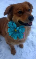 Jessy is an adoptable Golden Retriever Dog in Pelham, NH. Jessy is a 4 yr old golden retriever mix weighing approximately 50 lbs.   She's just wonderful, very loving and sweet.  She has a gorgeous che...