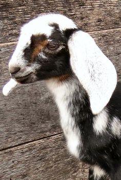 144 Best Beautiful Nubian Goats images in 2019 | Nubian goat, Goat
