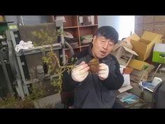철쭉 분갈이 교육 - YouTube