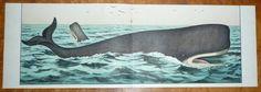 1878 sperm whale original antique sealife print hand colored lithograph
