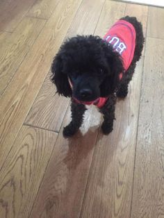 ADOPTED!!! (Melvin)  Dog • Poodle • Young • Male • Small  Dutch Country Animal Rescue - PA Furlong, PA