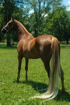 American Saddlebred Horse - Horse Photography - by suhslps