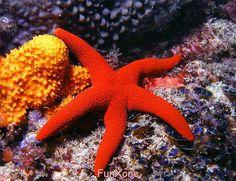 Underwater Sea Life. Red starfish