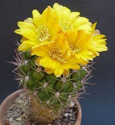 Weingartia kargliana Flowering Succulents, Cacti And Succulents, Planting Succulents, Cactus Plants, Planting Flowers, Desert Flowers, Beautiful Flowers Garden, Desert Plants, Beautiful Gardens