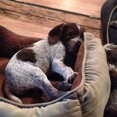 GERMAN WIREHAIRED POINTERS Puppies at www.wantaddigest.com