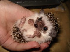 baby hedgehogs are freaking adorable!