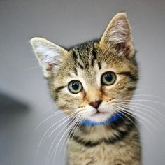 Ender is a curious kitten who is available for adoption at our Pacific Heights campus!
