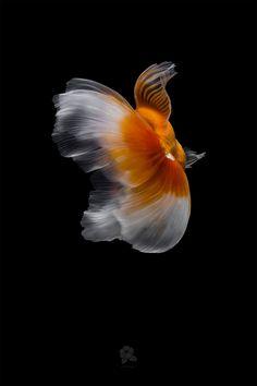 Ocean Wave Drawing, Koi Fish Drawing, Fish Drawings, Goldfish Species, Pretty Fish, Cool Tech Gifts, Fish Wallpaper, Photography Series, Australian Artists