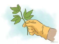 Imagem intitulada Grow Passion Fruit Step 7